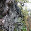 Tree v wall. Tree winning