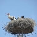 Stork's nest on telegraph pole