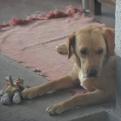 Bobo the dog at István's mum's house