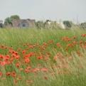 Poppies everywhere