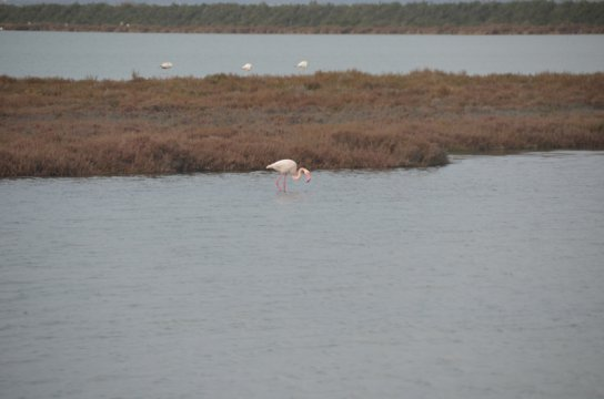 Moving snapshot of a flamingo near Montpellier as we sped past