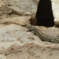 One friendly gecko (of many)